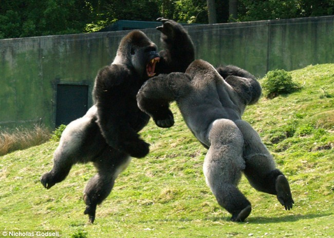 Gorilla Fighting Other Animals Photos of gorilla fighting