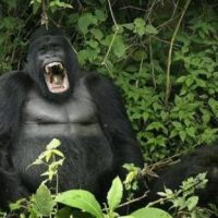 Photos-Of-Gorilla-Fighting-4
