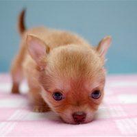 Puppy-39